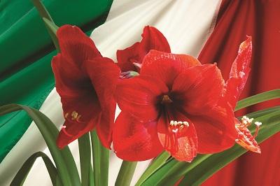 hippeastrum rosso